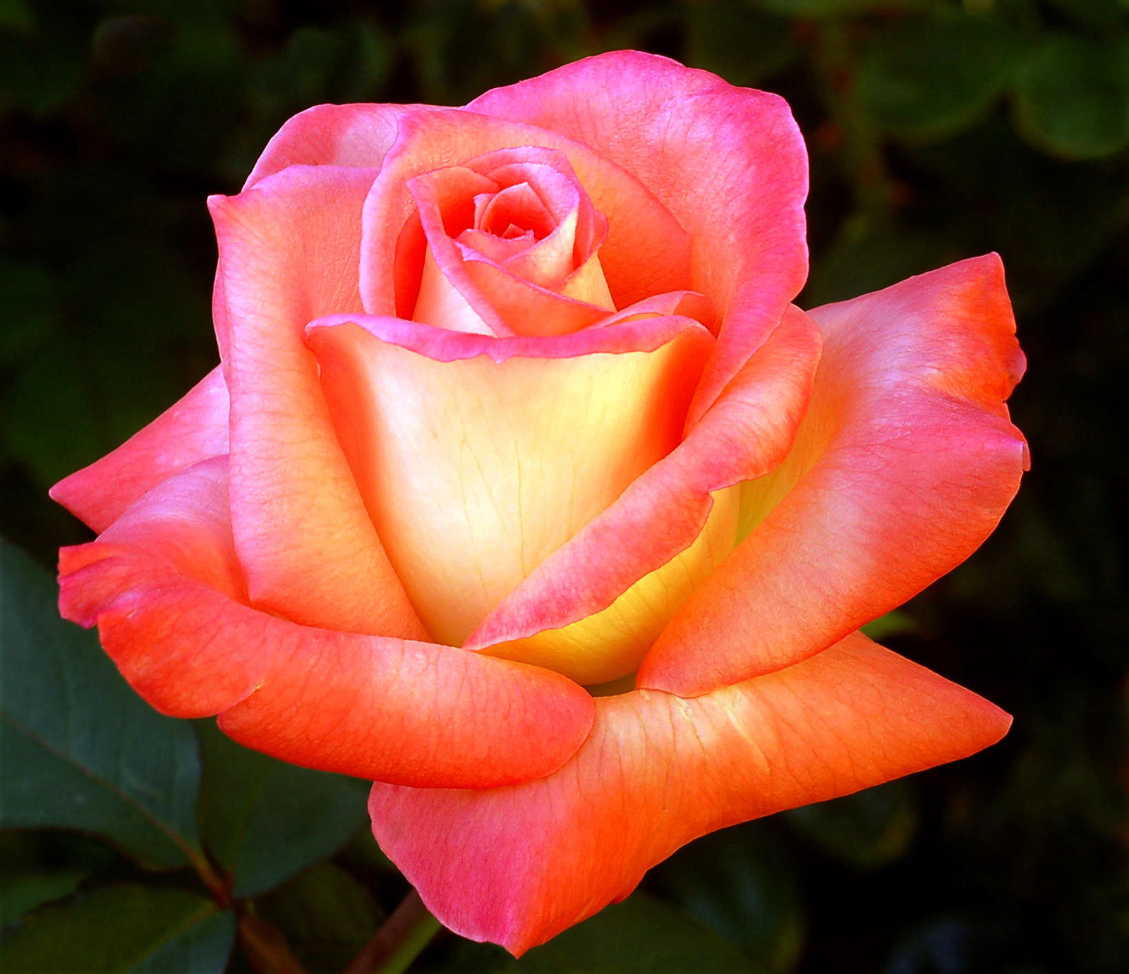 rose orange.jpg